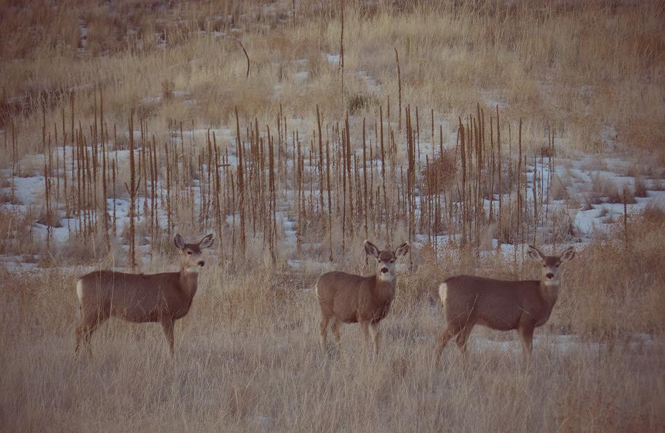 Deer, Mule Deer, Wildlife, Nature, Outdoors, Buck