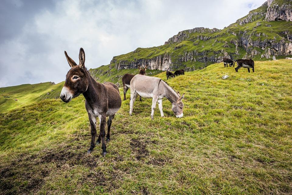 Donkeys, Mules, Animals, Mammals, Grazing, Grass