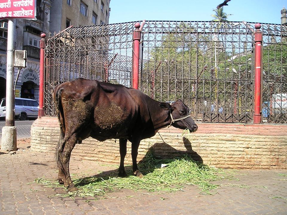 Holy, Cow, Cattle, India, Mumbai, Bombay