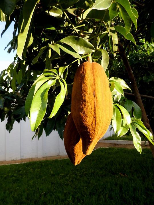 Mungubeira, Tree, Munguba, Tropical Fruit, Chestnut