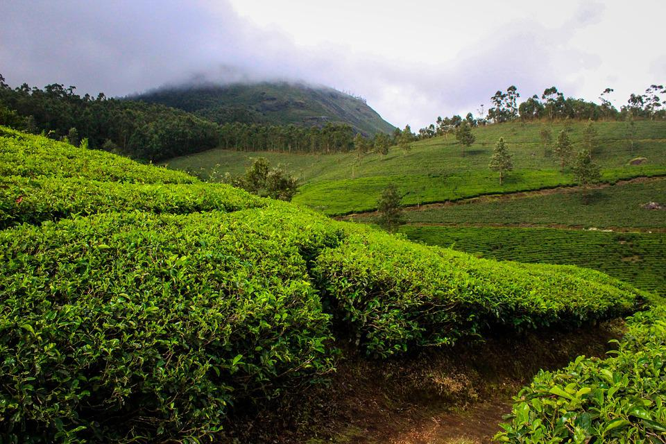 Munnar, India, Kerala, Tea Plantation, Tea, Nature