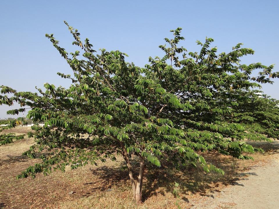 Muntingia Calabura, Jamaican Cherry, Panama Berry