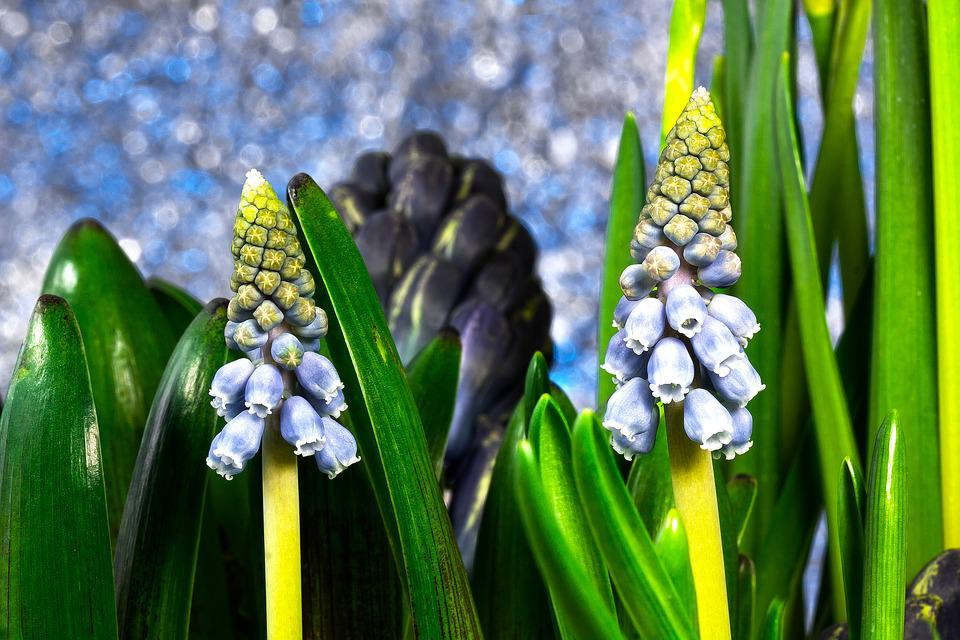 Muscari, Muscari Armeniacum, Spring, Zwiebelpflanze