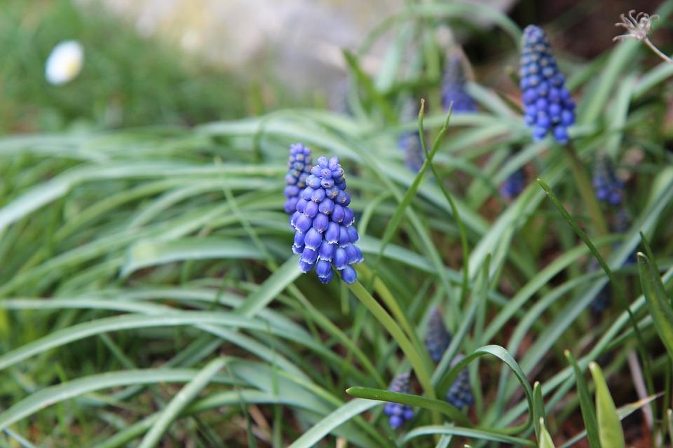 Muscari, Bulb, Blue, Spring, Flowers