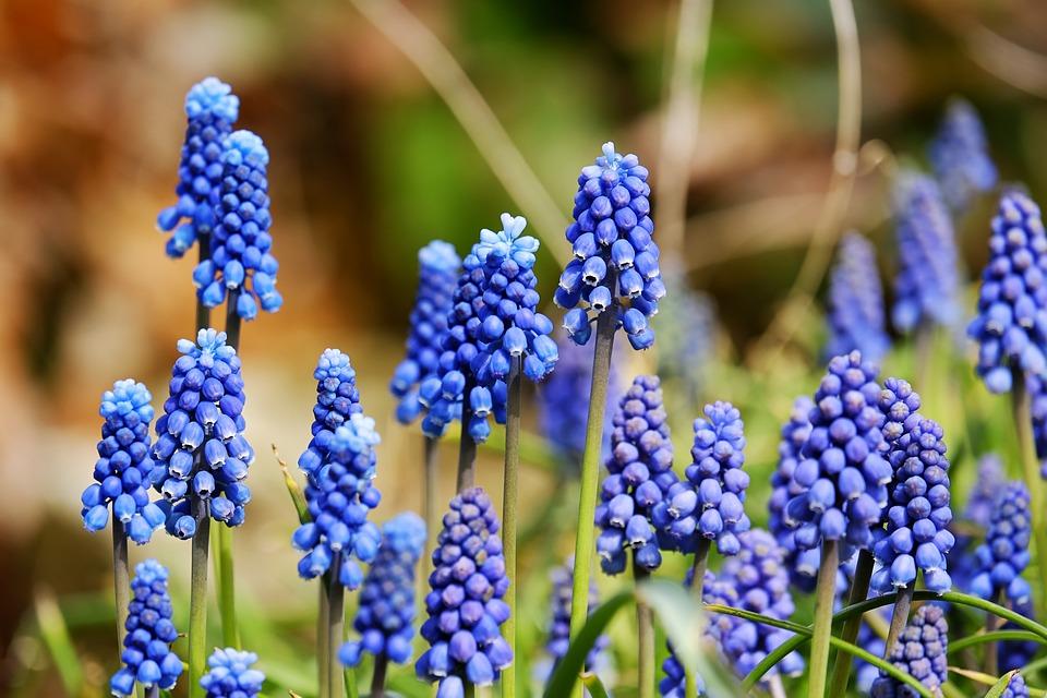 Muscari, Blossom, Bloom, Flower, Blue, Ornamental Plant