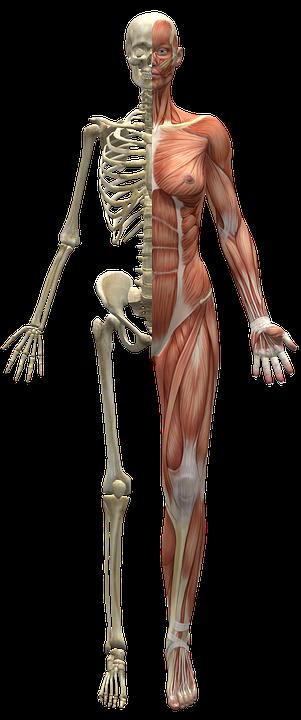 Muscles, Skeleton, Half Body, Human Body