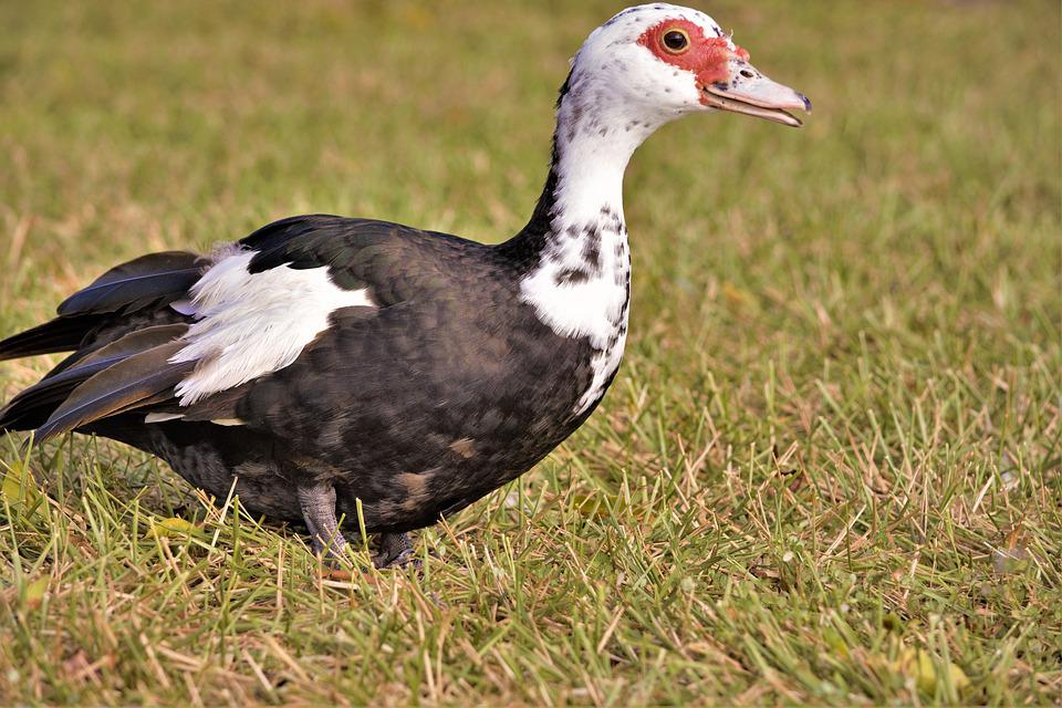 Duck, Muscovy, Colorful, Muscovy Duck, Full Body