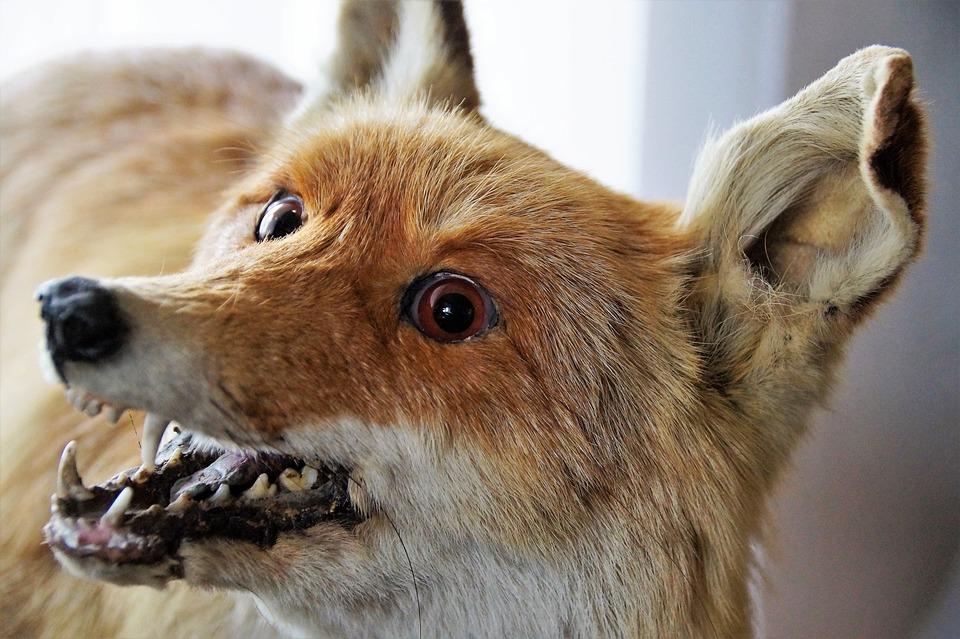 Fox, Wild, Animal, Stuffed, Museum, Fur, Exhibit, Glass