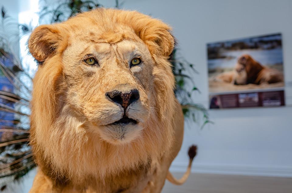 Lion, Portrait, Museum, Africa, Predator, Mammals