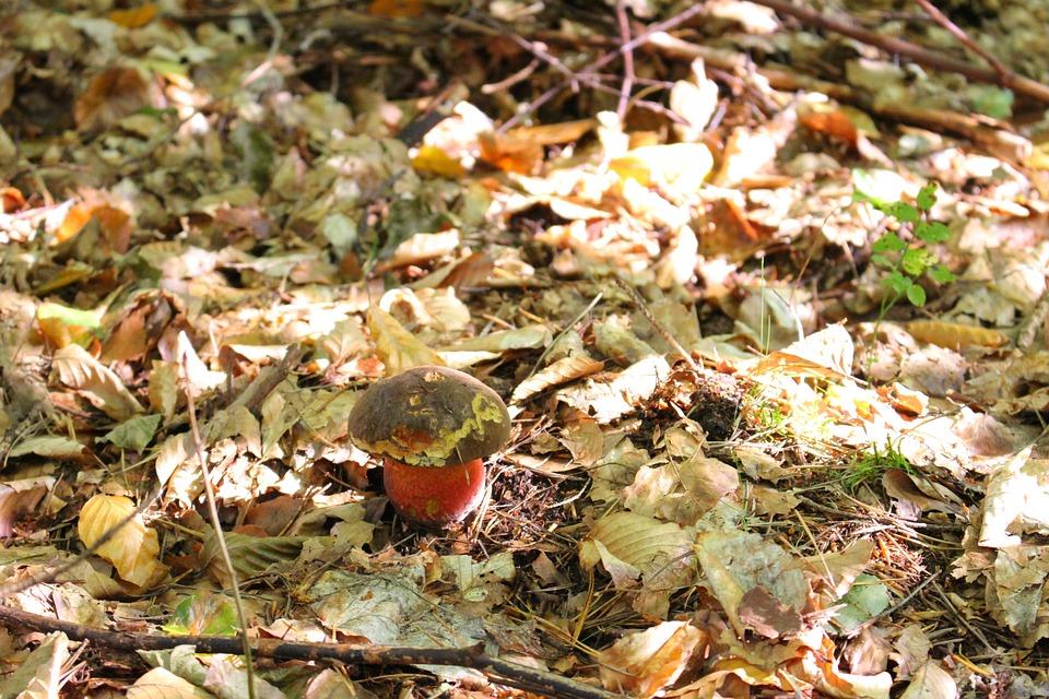 Boletus Erythropus, Mushroom, Mushrooms, Forest, Autumn