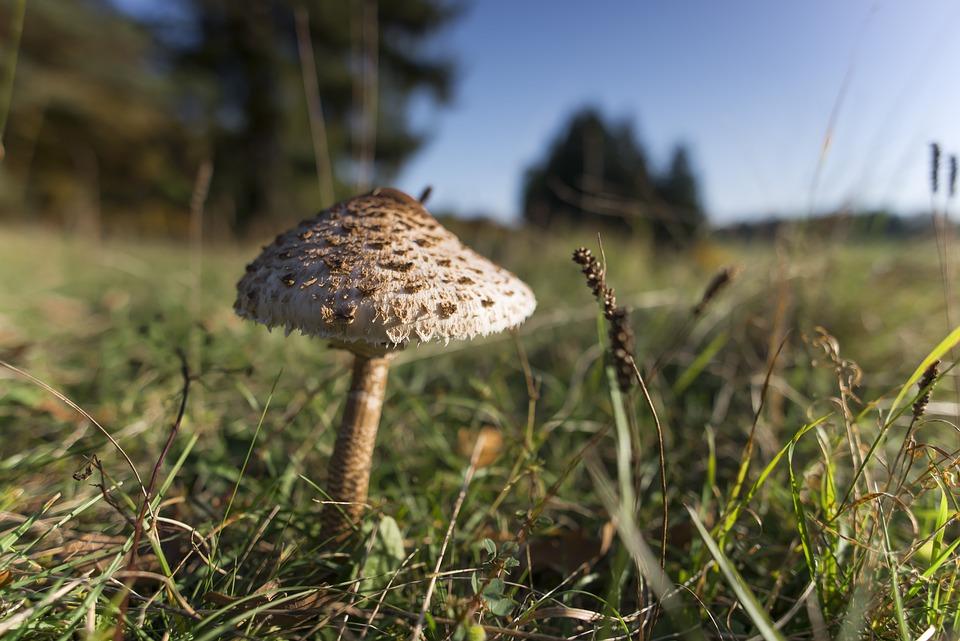 Mushroom, Parasol, Autumn, Mushroom Harvest, Edible