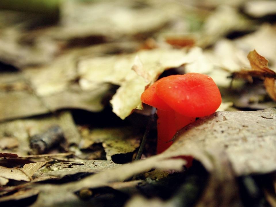 Mushroom, Orange, Little, Tiny, Growth, Fungus, Woods