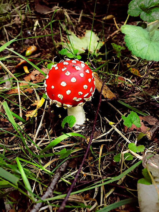Fly Agaric, Mushrooms, Forest, Autumn, Red