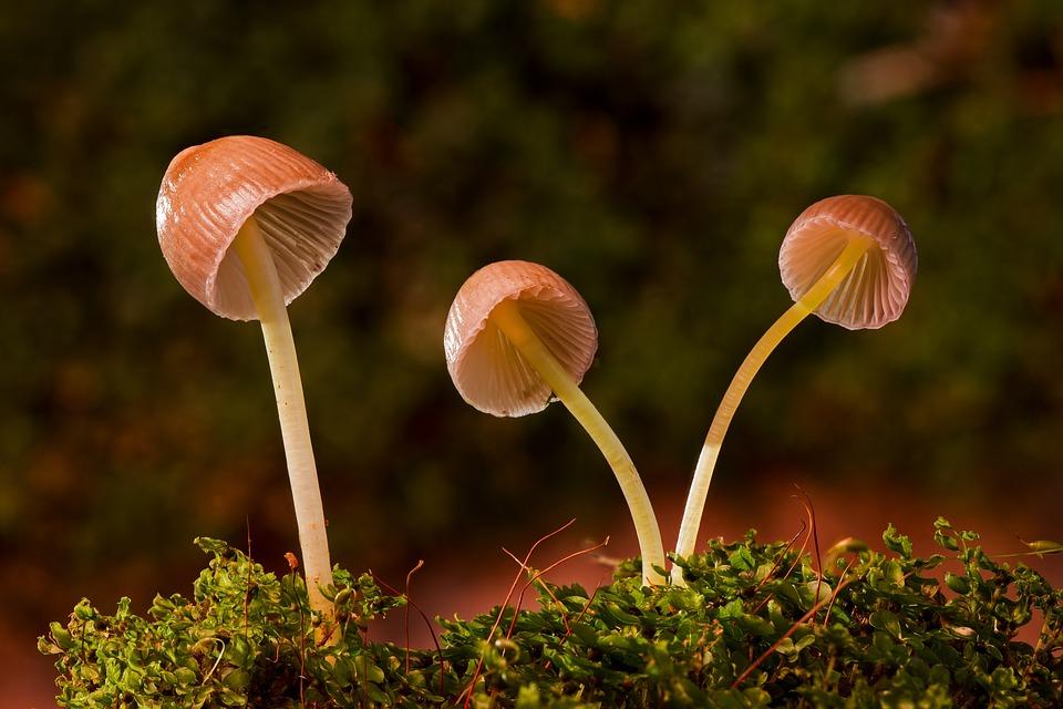 Mushrooms, Galerina Vittiformis, Fungi, Agaric Fungi