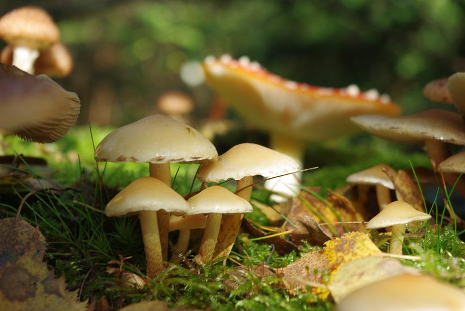 Mushrooms, Forest, Toxic, Nature, Plant, Autumn, Gift