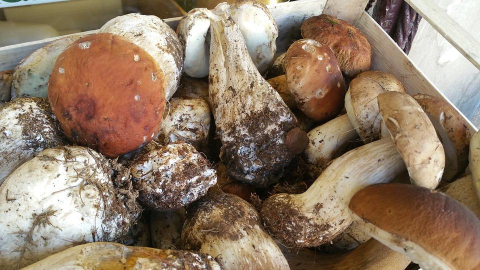 Fungus, Mushrooms, King Bolete, Porcini Mushrooms