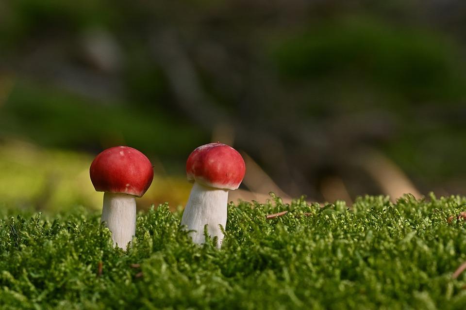 Mushrooms, Spewing Paws, Russula Mushroom, Russula
