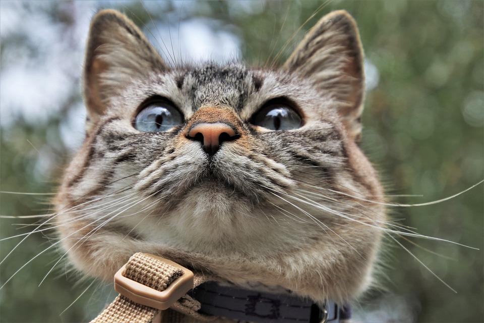 Cat's Eyes, Gray, Kitty, Mustache, On A Leash, Head