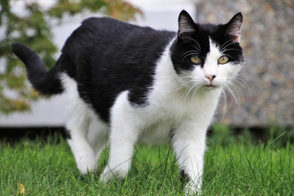Tomcat, Hunting, Coat, Mustache, Animal, Look, Futrzak
