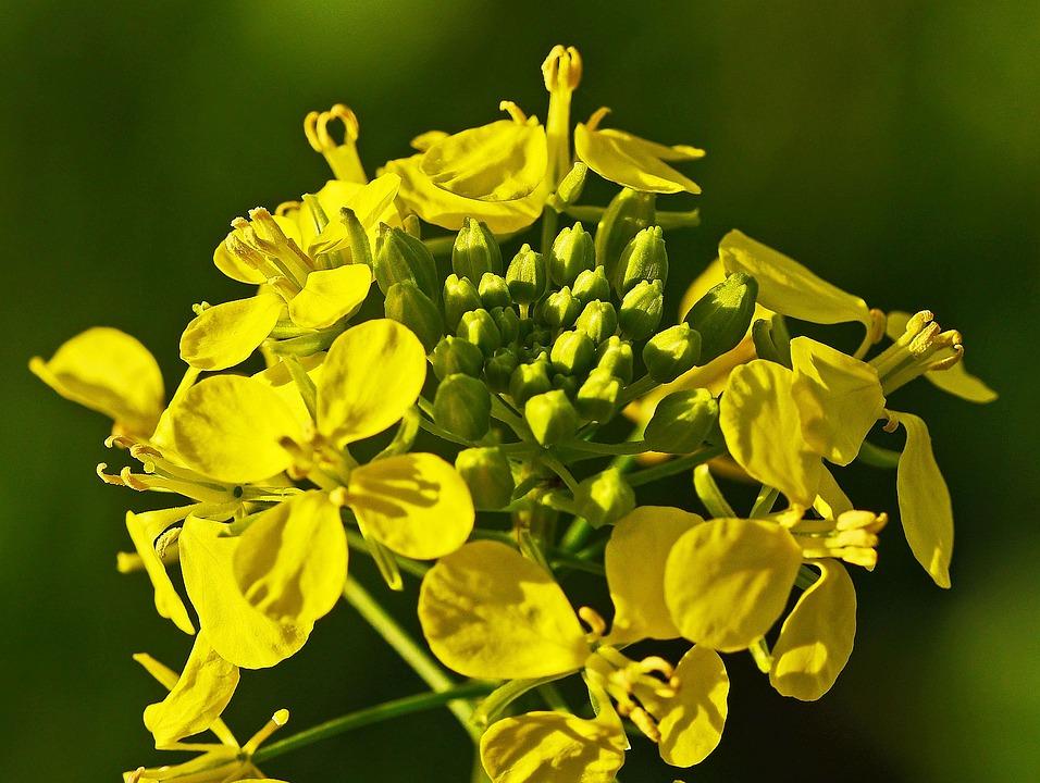 Mustard Flower, Mustard, Autumn Plant, Catch Crop