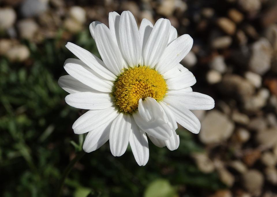 Daisy, Mutant, Mutated, Flower