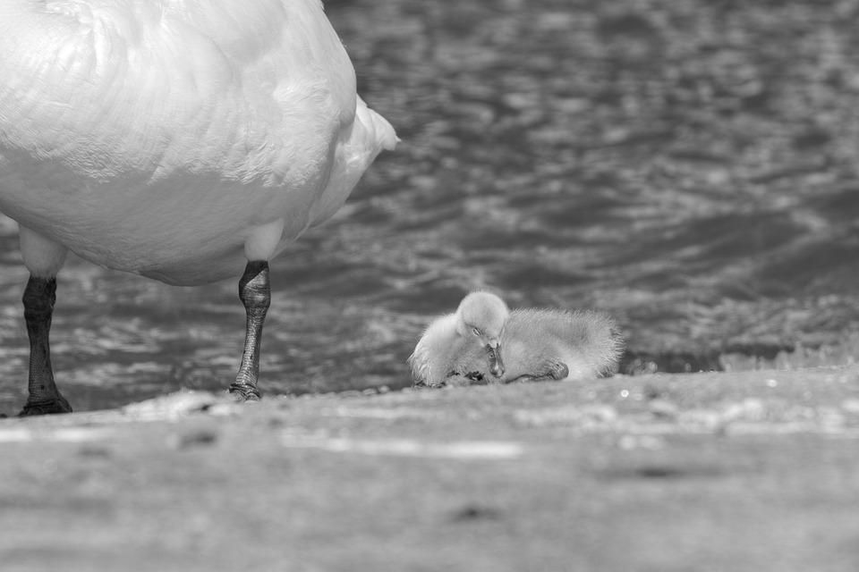 Cygnets, Mute Swan, Sleep, Swan, Nature, Rock, Beach