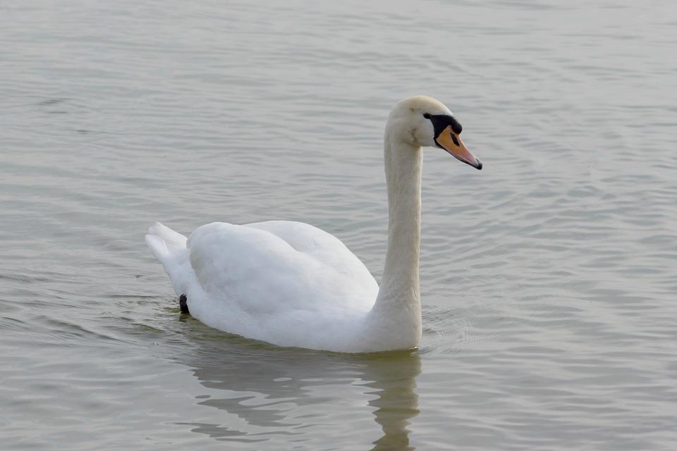 Mute Swan, Swan, Bird, Water Fowl, Swim, Pride, Elegant