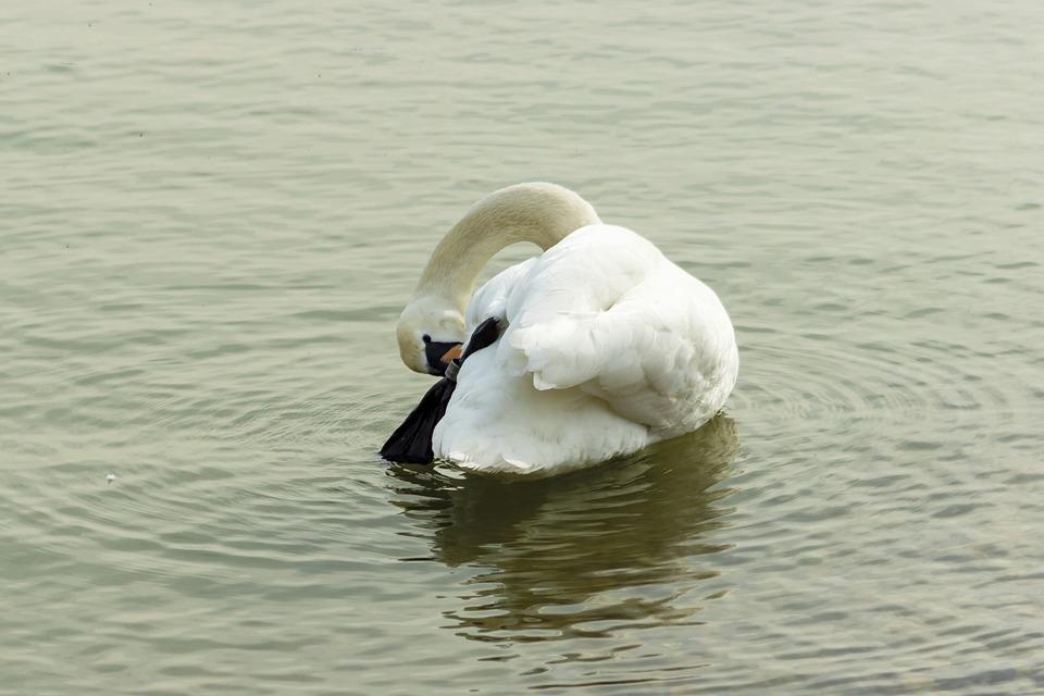 Mute Swan, Swan, Water Bird, Bird, White, Swim, Elegant