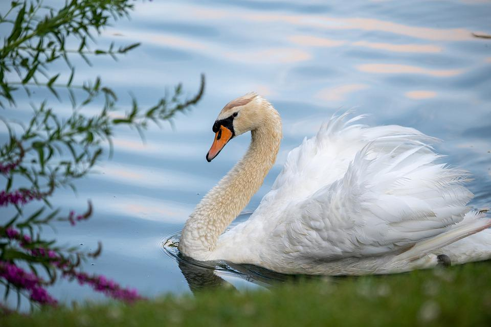 Swan, Mute Swan, White Swan, Waterfowl, Lake, Nature