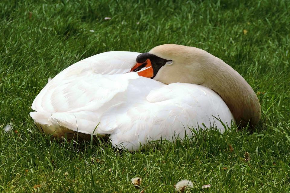 Swan, Mute Swan, Concerns, Sleep, Swan Sleeping, Meadow