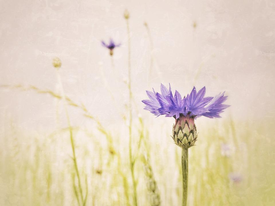 Cornflower, Shallow Depth Of Field, Muted Colors