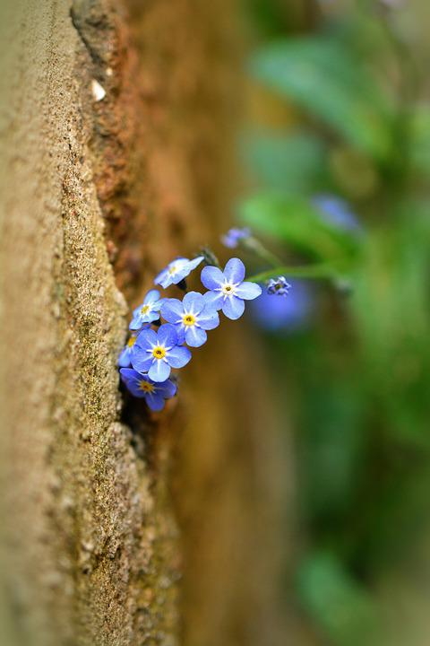 Forget Me Not, Myosotis, Raublattgewächs, Wallflower