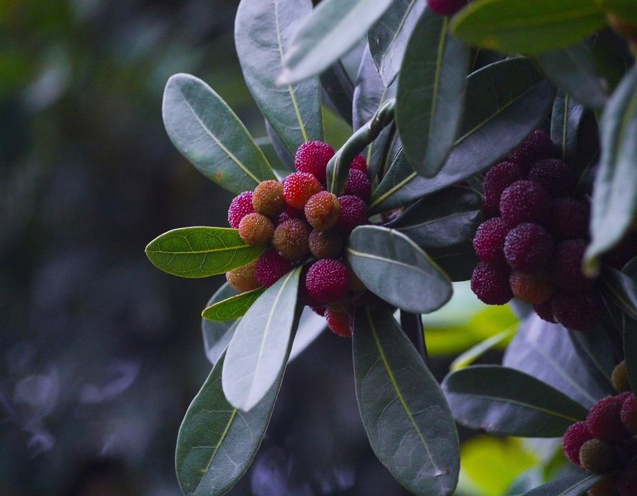 Myrica Rubra, Madroño, Moai, Immo, Jan Me, Red Fruit