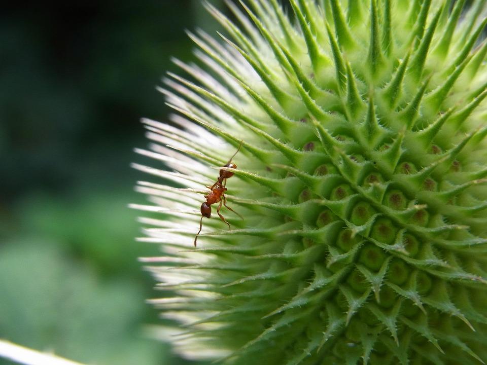 Dry Grass Knotenameise, Myrmica Scabrinodis, Ant