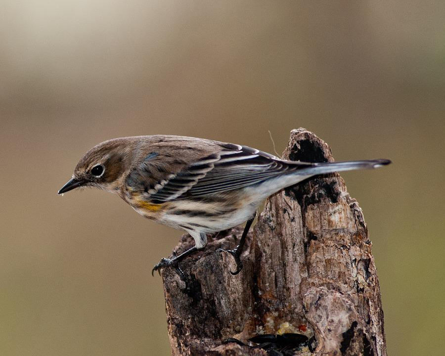 Warbler, Myrtle Warbler, Bird, Yellow-rumped, Perch