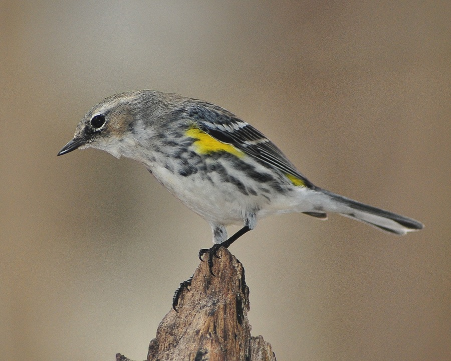 Warbler, Myrtle Warbler, Bird, Songbird, Yellow-rumped