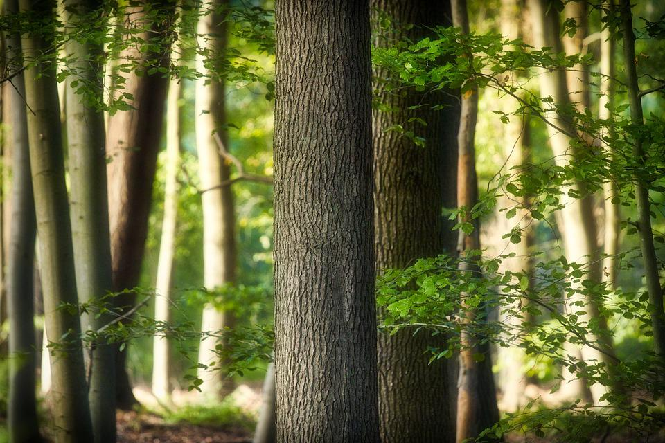 Beech, Forest, Leaves, Mysterious, Nature
