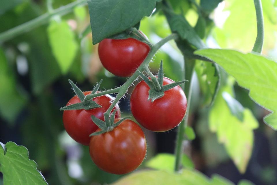 Bush Tomatoes, Tomatoes, Nachtschattengewächs