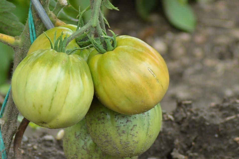 Tomatoes, Tomato Shrub, Nachtschattengewächs, Garden