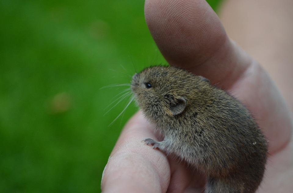 Mouse, Nager, Field Mouse, Animal, Cute