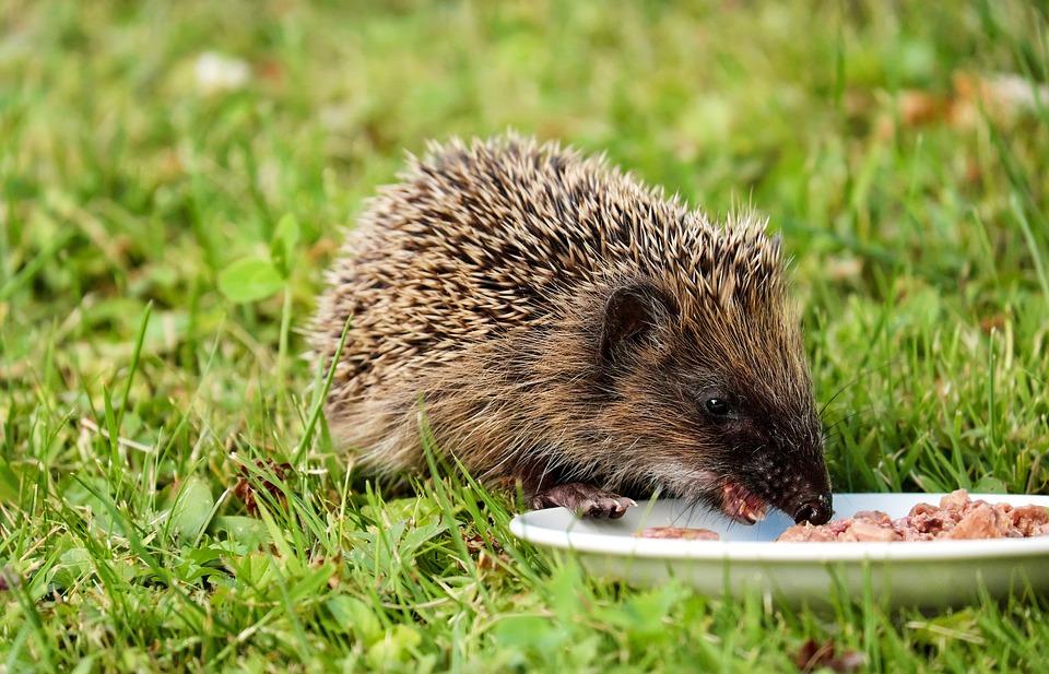 Hedgehog, Animal, Mammal, Hannah, Nager, Rodent, Meal