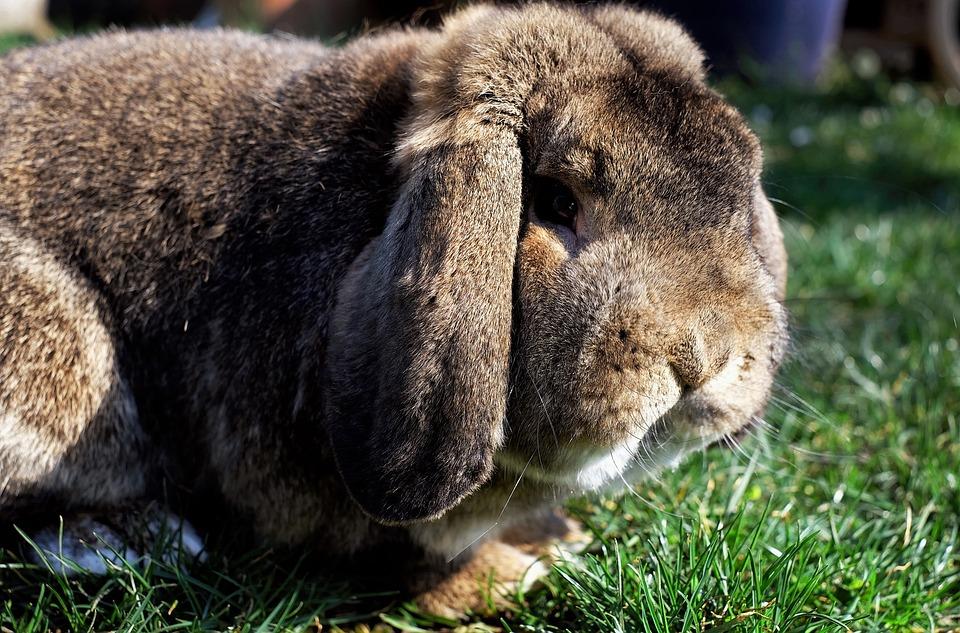 Hare, Munchkins, Floppy Ear, Nager, Garden