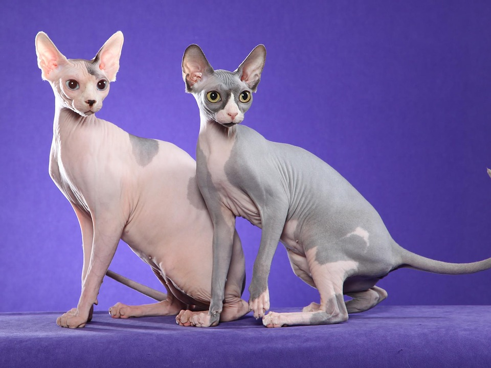 Cat, Sfinks, Naked, Exotic, Pet