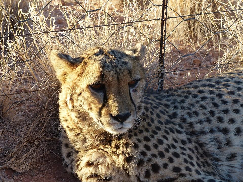 Cheetah, Tame, Nambia, Hammerstein Lodge