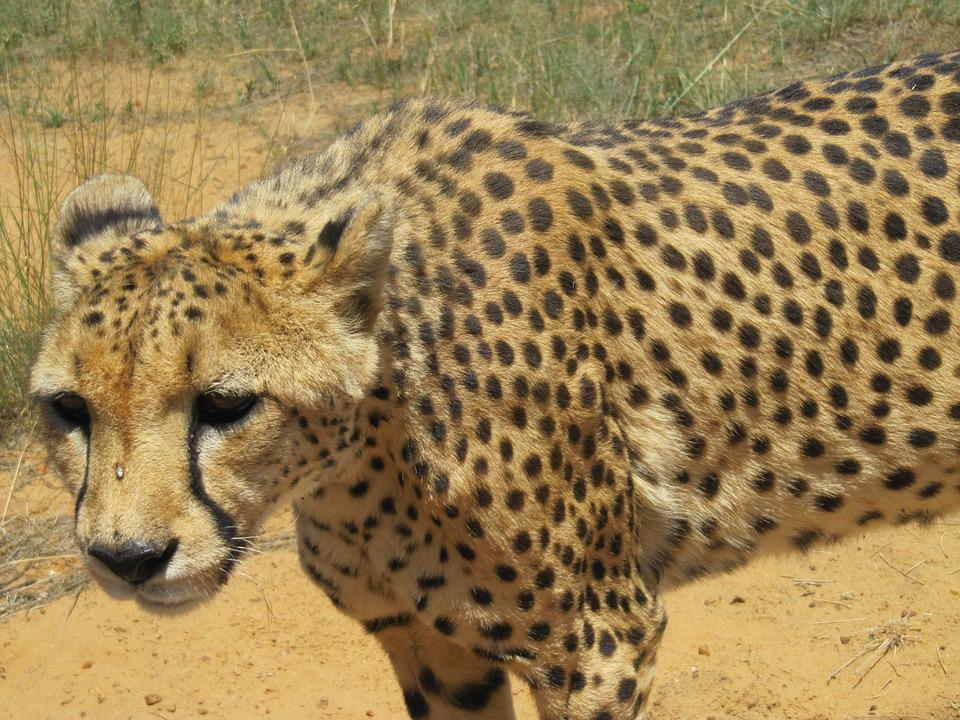 Namibia, Cheetah, Cat, Africa, Safari, Big Cat