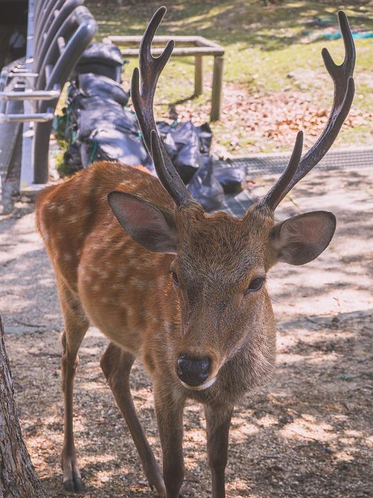 Deer, Nara, Japan, Wildlife, Sika Deer, Cute, Animal