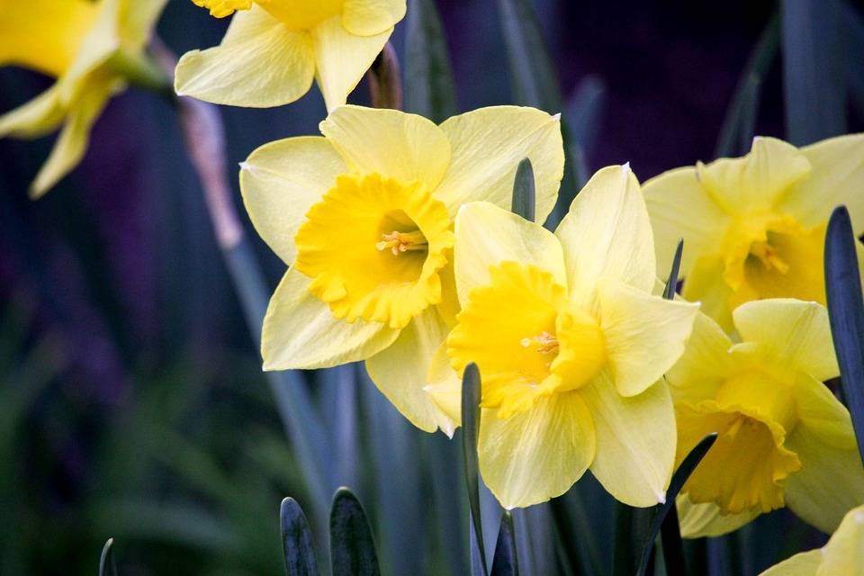 Daffodil, Narcissus, Flower, Easter, Nature