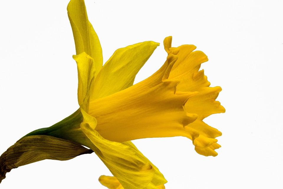 Narcissus Pseudonarcissus, Narcissus, Daffodil