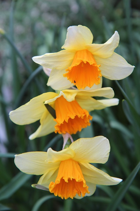 Narcissus, Narcissus Orange, Daffodil, Spring, Flowers