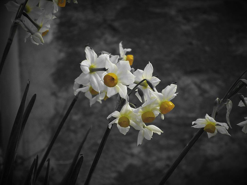 Narcissus Tazetta, Daffodil, Flower, Petal, Plant